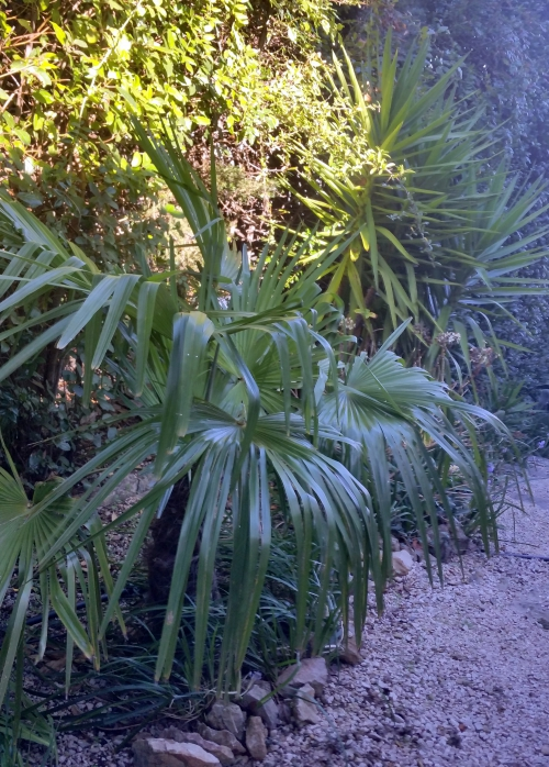 Palmier à chanvre 17 janv 15.jpg