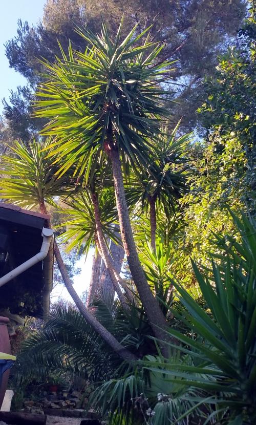 Yuccas 17 janv 15.jpg