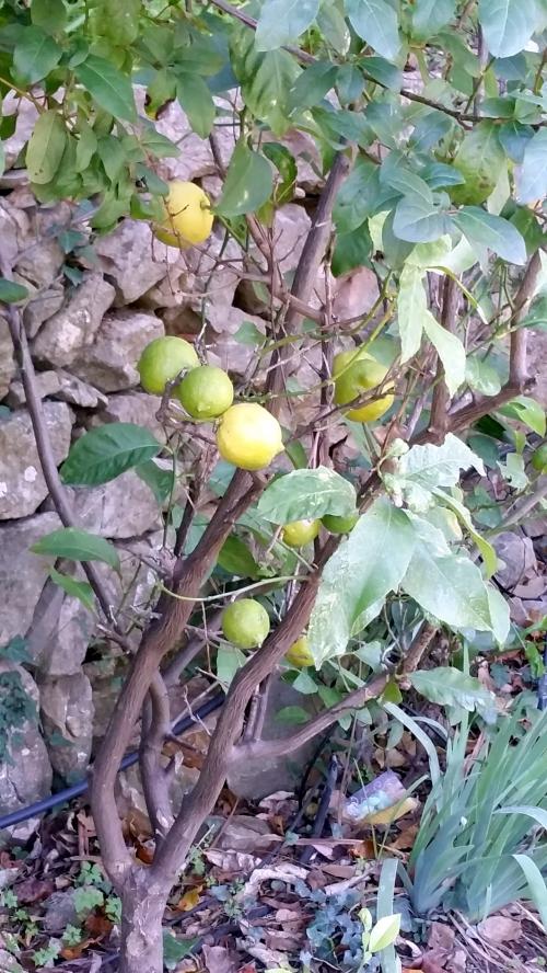 Citrons 29 dec 14.jpg