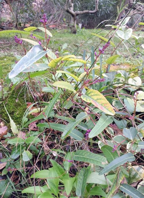 Début floraison hardenbergia 4 fév 15.jpg