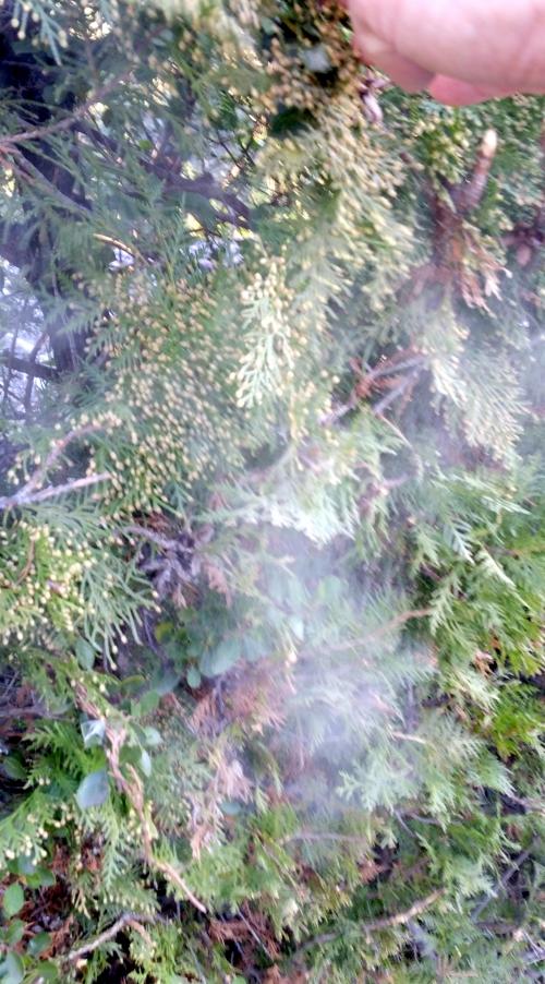Pollen cyprès 8 fév 15.jpg