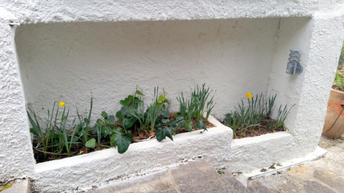 Jardinière avec narcisses 13 fév 15.jpg