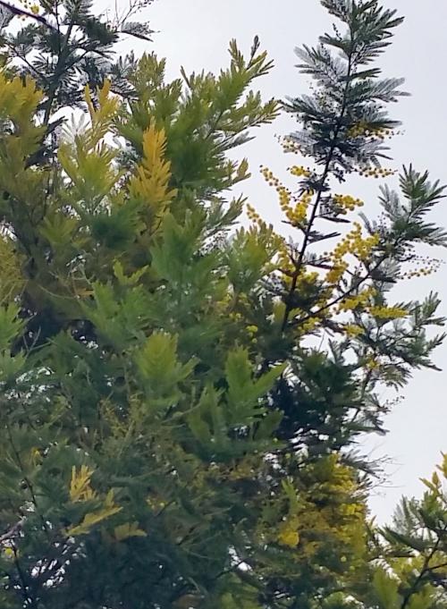 Miomosa en début de floraison 13 fév 15.jpg