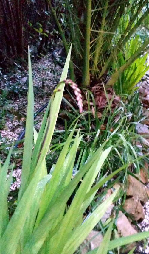 Début floraison crocosmias  21 fév 15.jpg