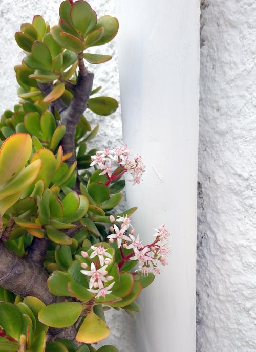 Crassula en fleurs 23 fev 15.jpg