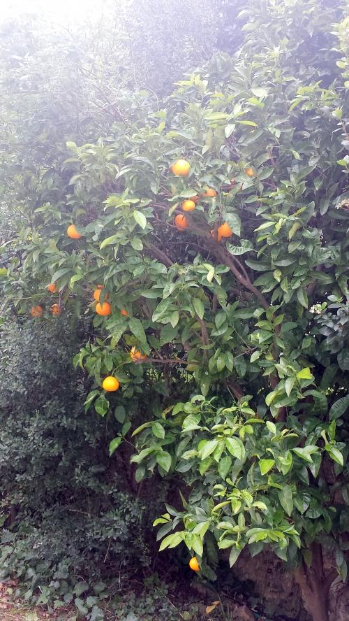 Oranges 26 janv 15.jpg