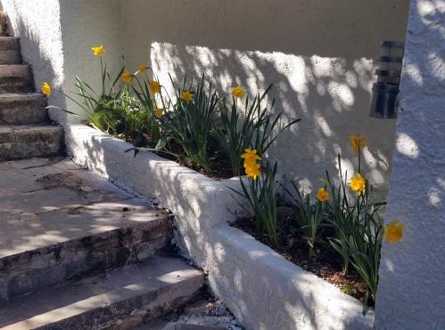 Narcisses dans jardinière 26 fév 15.jpg