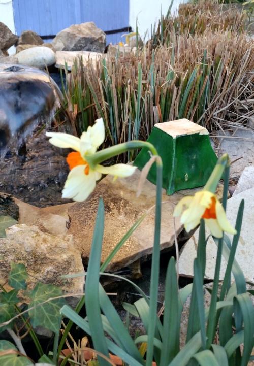 Narcisses bassin 26 fev 15.jpg