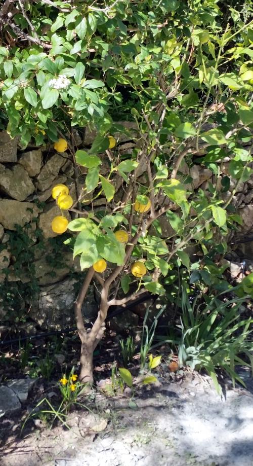 Narcisses et citronier 26 fév 15.jpg