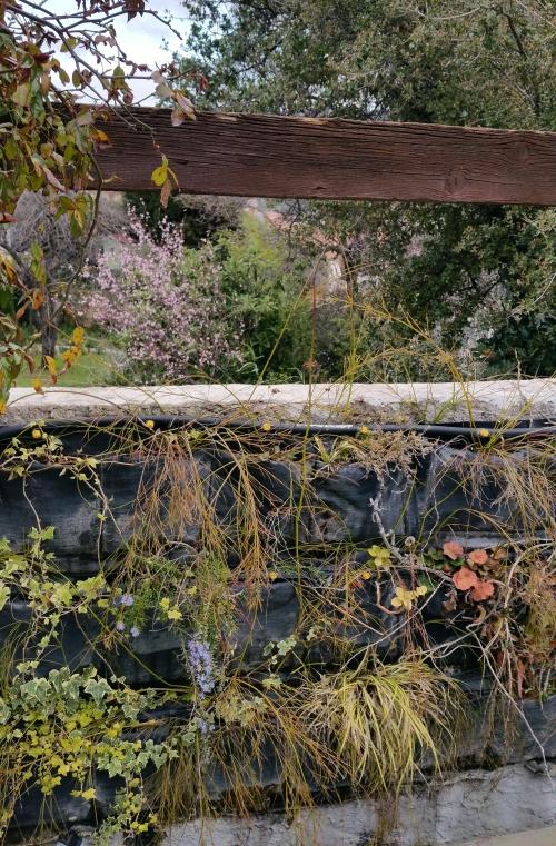 Romarin et cerisier à fleurs 19 mars 15.jpg