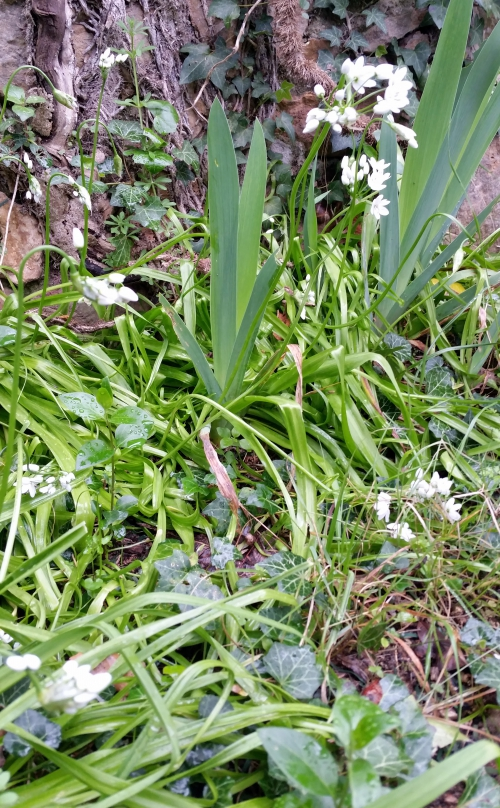 profusion d'ail blanc 25 mars 15.jpg