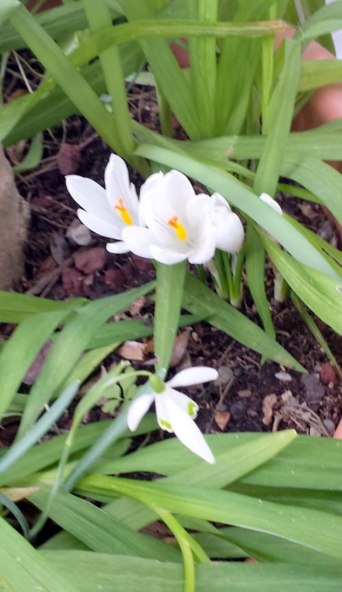 Crocus blancs et perce neige 9 mars 15.jpg