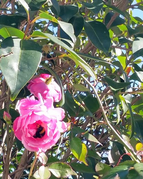 Polénisation rose 26 fév 15.jpg