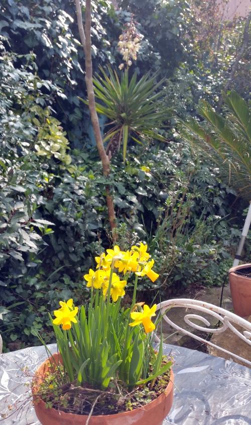Potée jacinthes et floraison yucca  13 mars 15.jpg