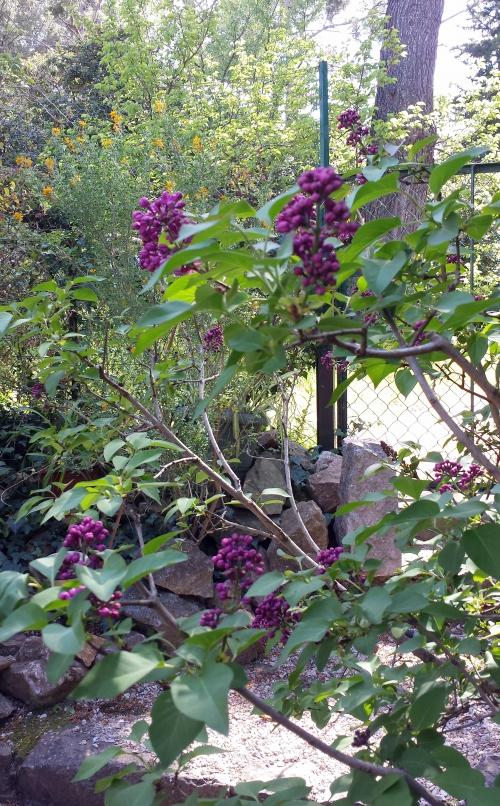 lilas mauve et ciste 15 avr 15.jpg