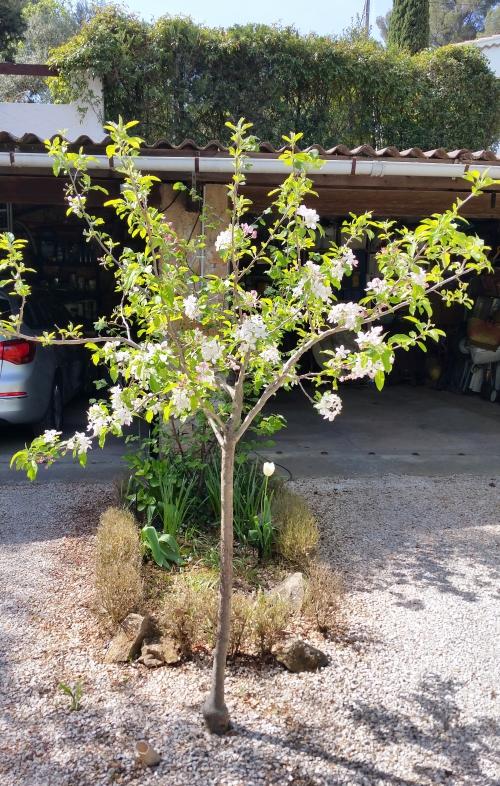 Pommier en fleurs 18 avr 15.jpg