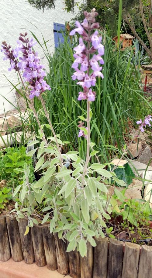 Floraison sauge 1er mai 15.jpg