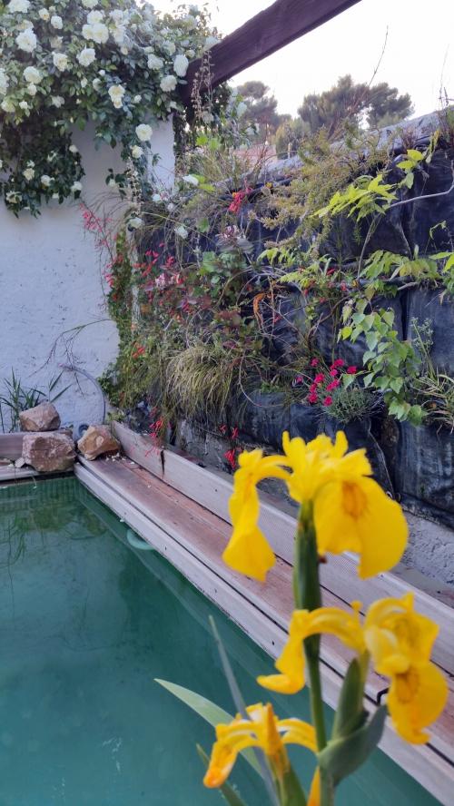 Iris d'eau sur fond de mur végétalisé fleuri 8 mai 15.jpg
