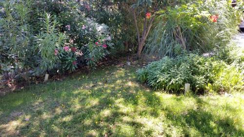 Pissenlit en guis de gazon fleuri 26 juin 15.jpg