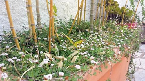 gazon fleuri aux pieds des bambous 8 juin 15.jpg