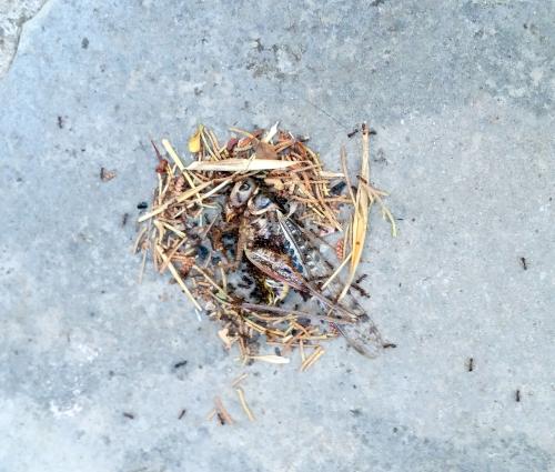 Libéllule et fourmis 30 juin 15.jpg