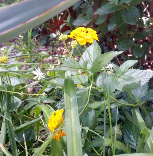 Cotoneaster jaune 4 juil 15.jpg