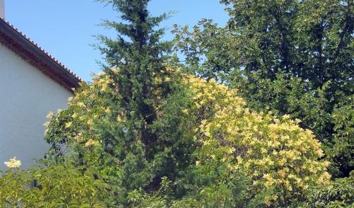 Fleurs des troenes 5 juil 15.jpg