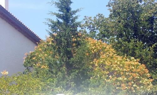 Troene fleuri 7 juil 15.jpg