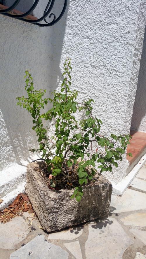 Jeune abricotier 4 juil 15.jpg