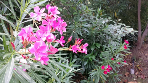 fleurs laurier rose 15 juil 15.jpg