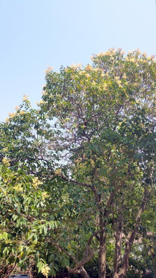 Troene en fleurs 4 juil 15.jpg