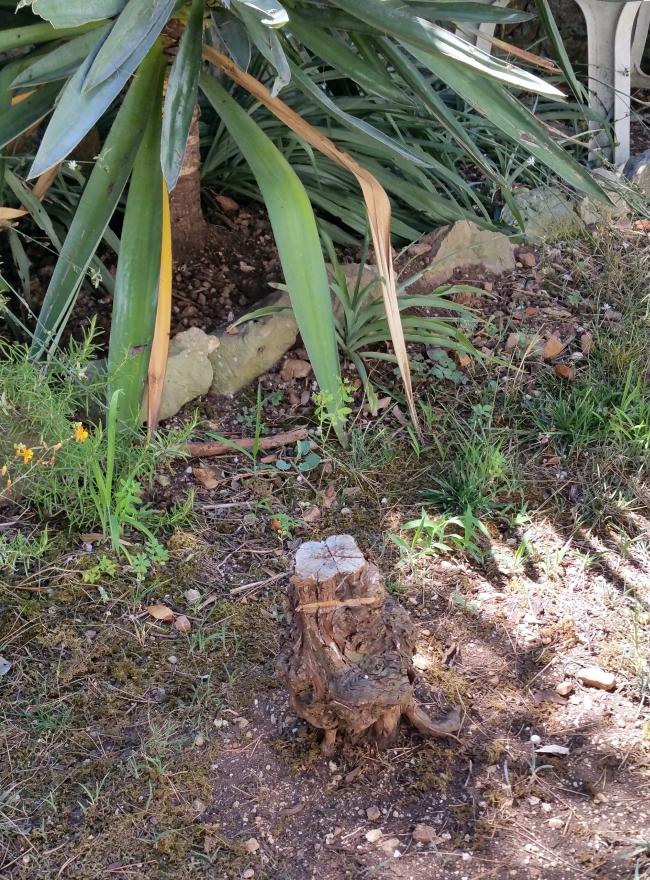 Pied de vigne perdu 29 juil 15.jpg