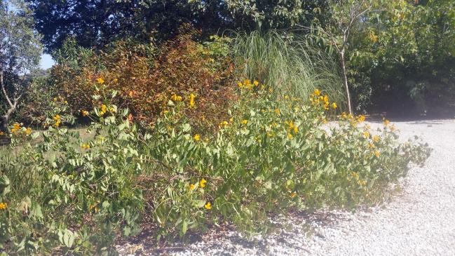 Massif herbe de la pampa en pleine chaleur 19 aout 15.jpg