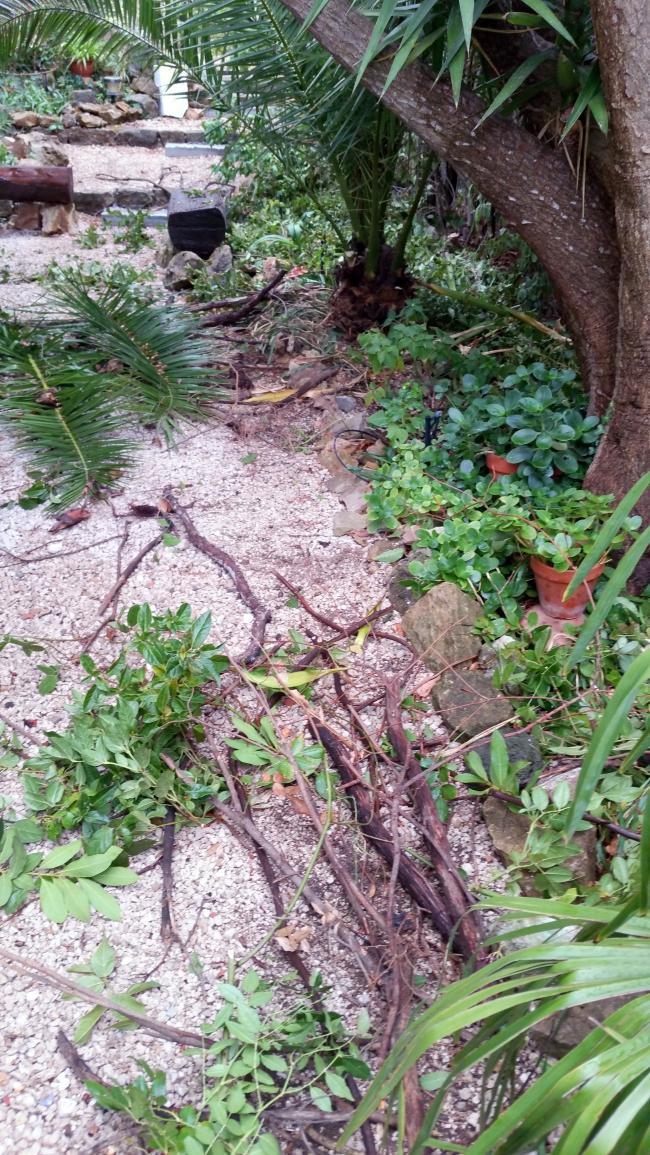 Bois morts enlevés et palmes taillées haie ouest 28 sept 15.jpg