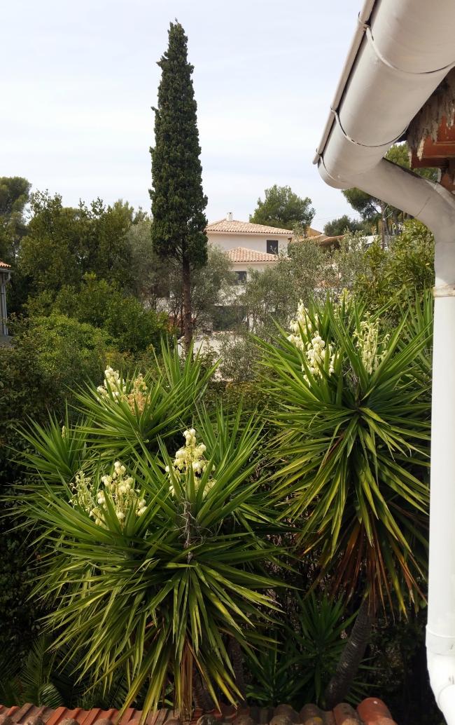 Yuccas en floraison 1er oct 15.jpg