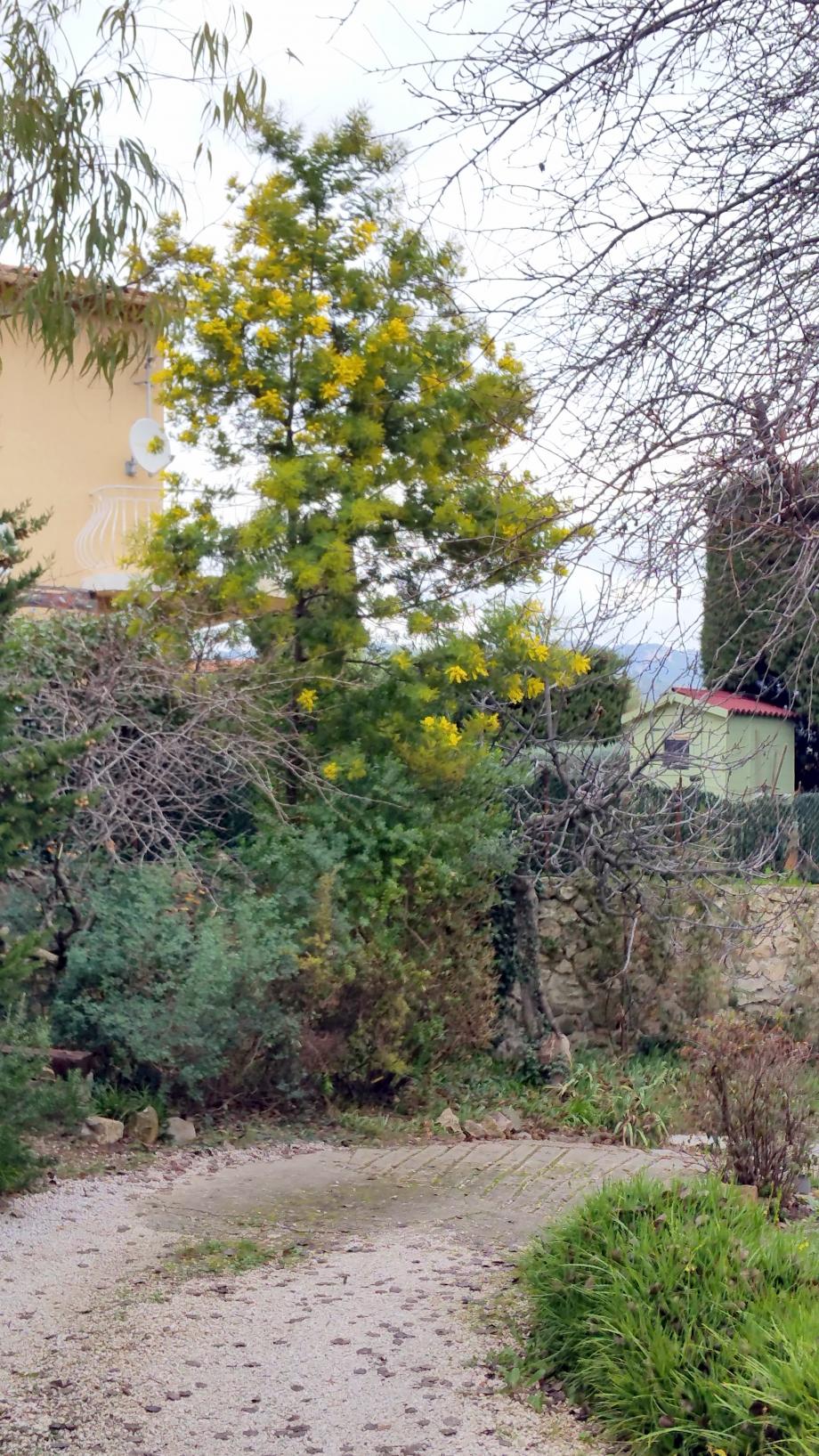 Mimosa 24 dec 15.jpg