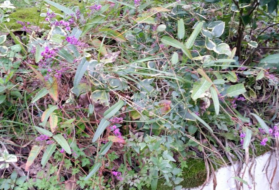 hardenbergia en floraison 3 janv 16.jpg