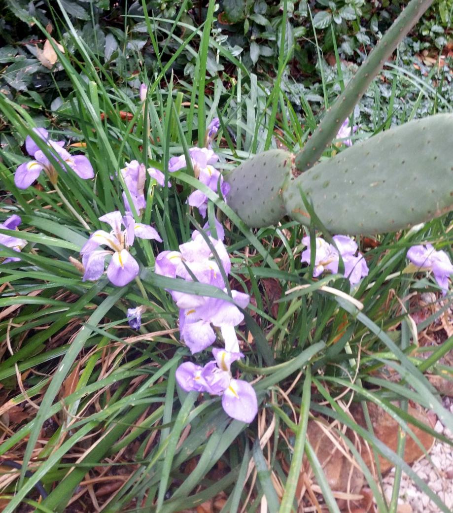 Iris d'Alger 6 dec 15.jpg