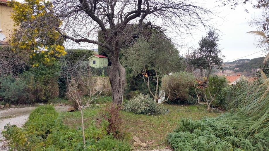 Vue de la restanque du bas avec oliviers taillés 4 janv 16.jpg