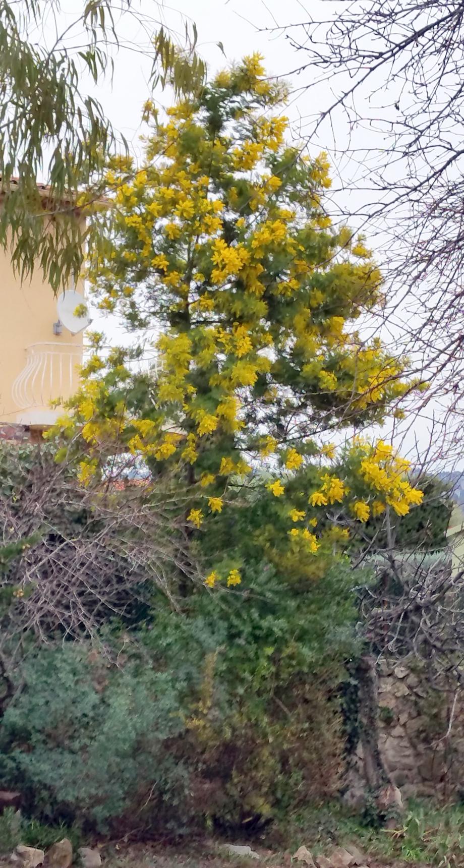 Mimosa 3 janv 16.jpg
