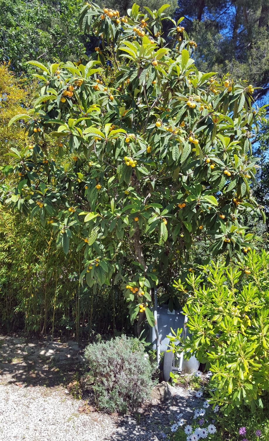 Fruits néflier 4 mai 16.jpg
