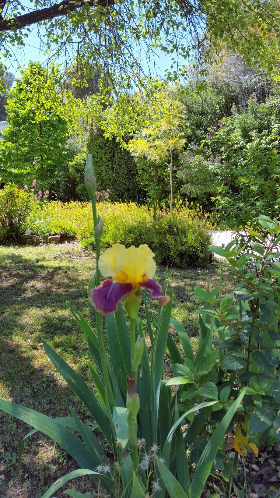 Iris jaune et mauve 4 mai 16.jpg
