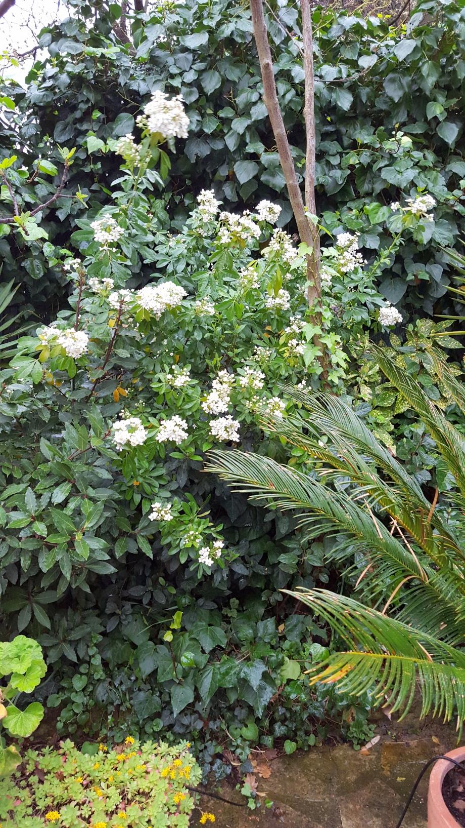 Oranger du Mexique en fleurs 1 avr 16.jpg