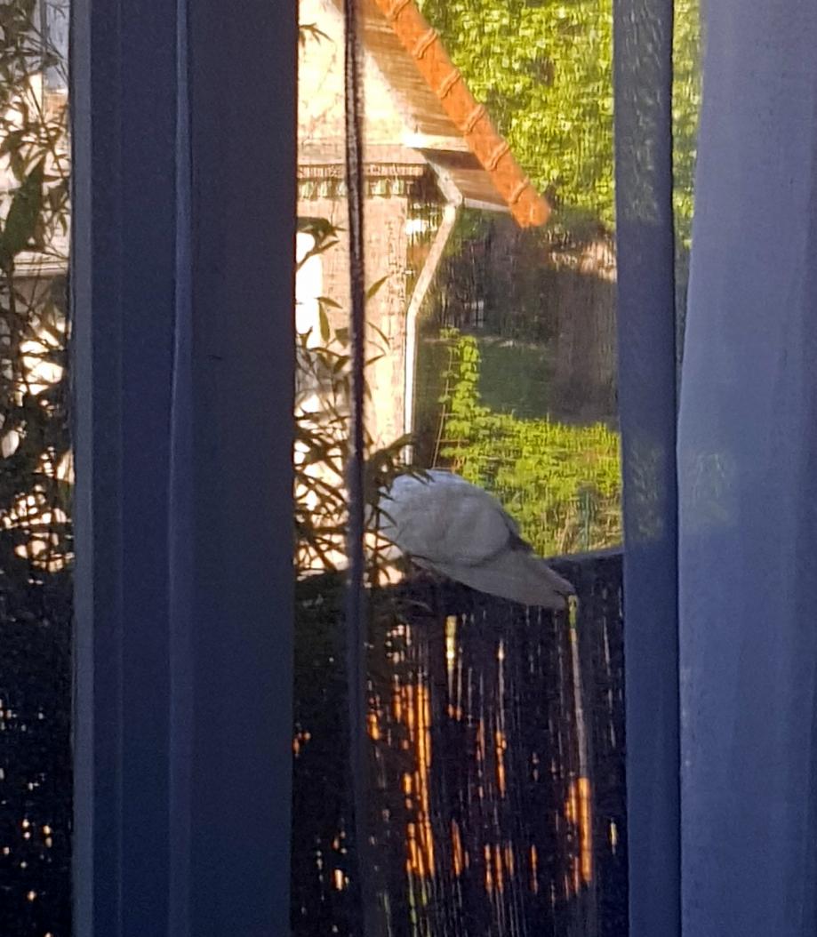 Pigeon sur balcon 5 mai 18.jpg