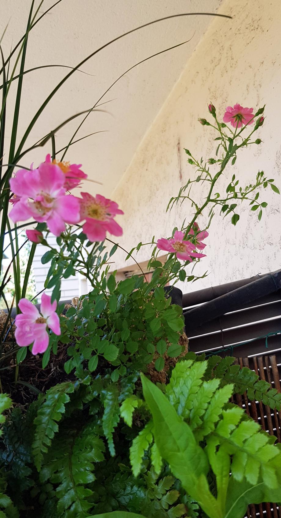 Rosier Eglantia pink pins Intropi 3 juin 18.jpg