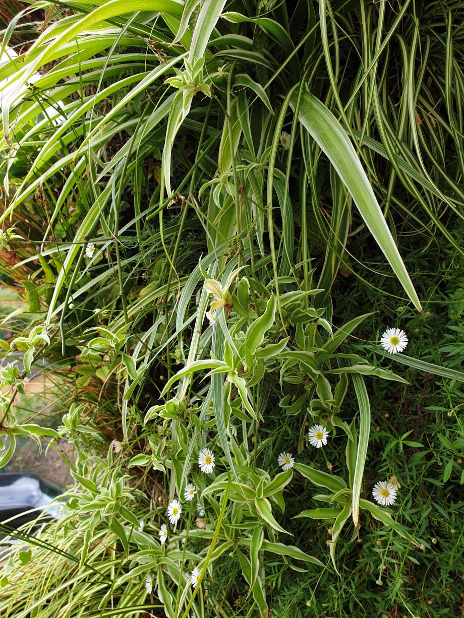 Mur ext en floraison 28 sept 19.jpg