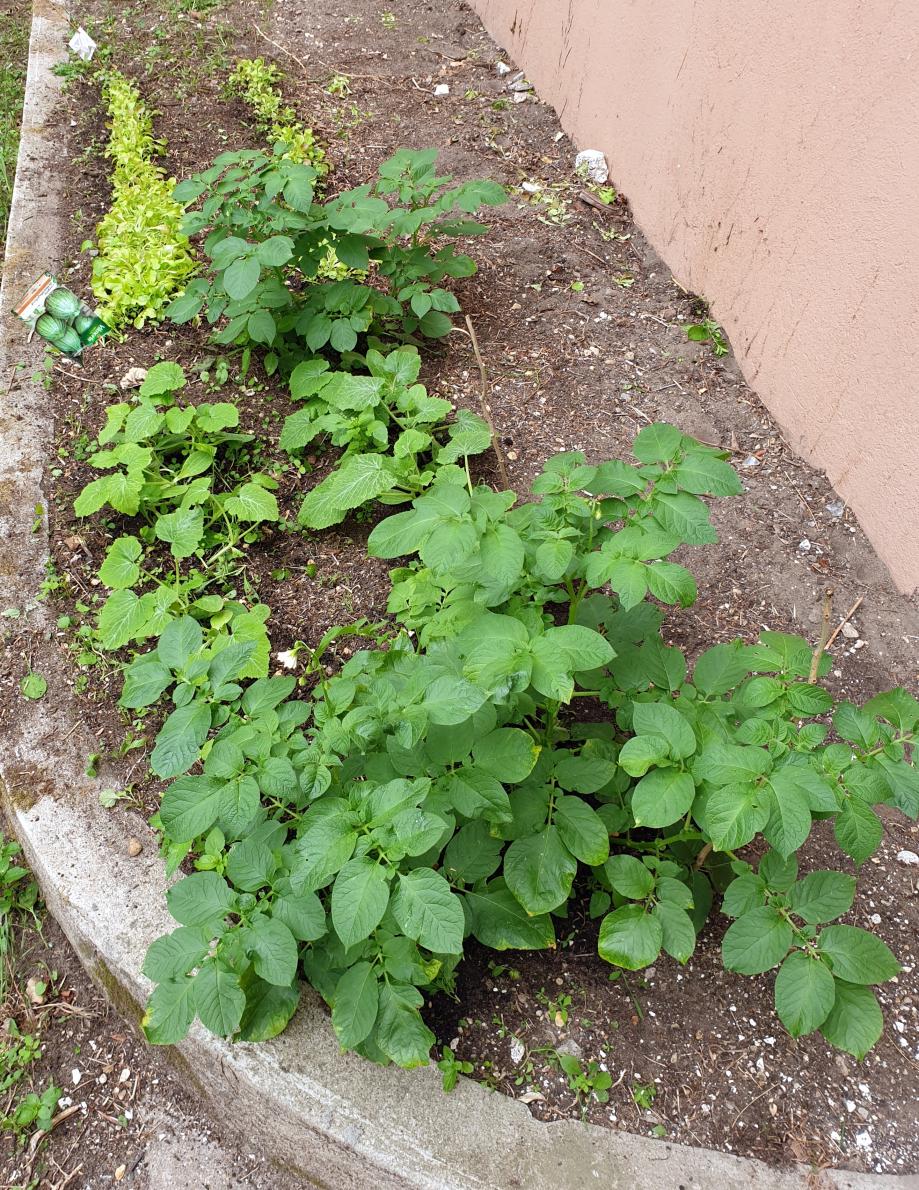 Patates et semis de courgettes et de salade 21 juin 20.jpg