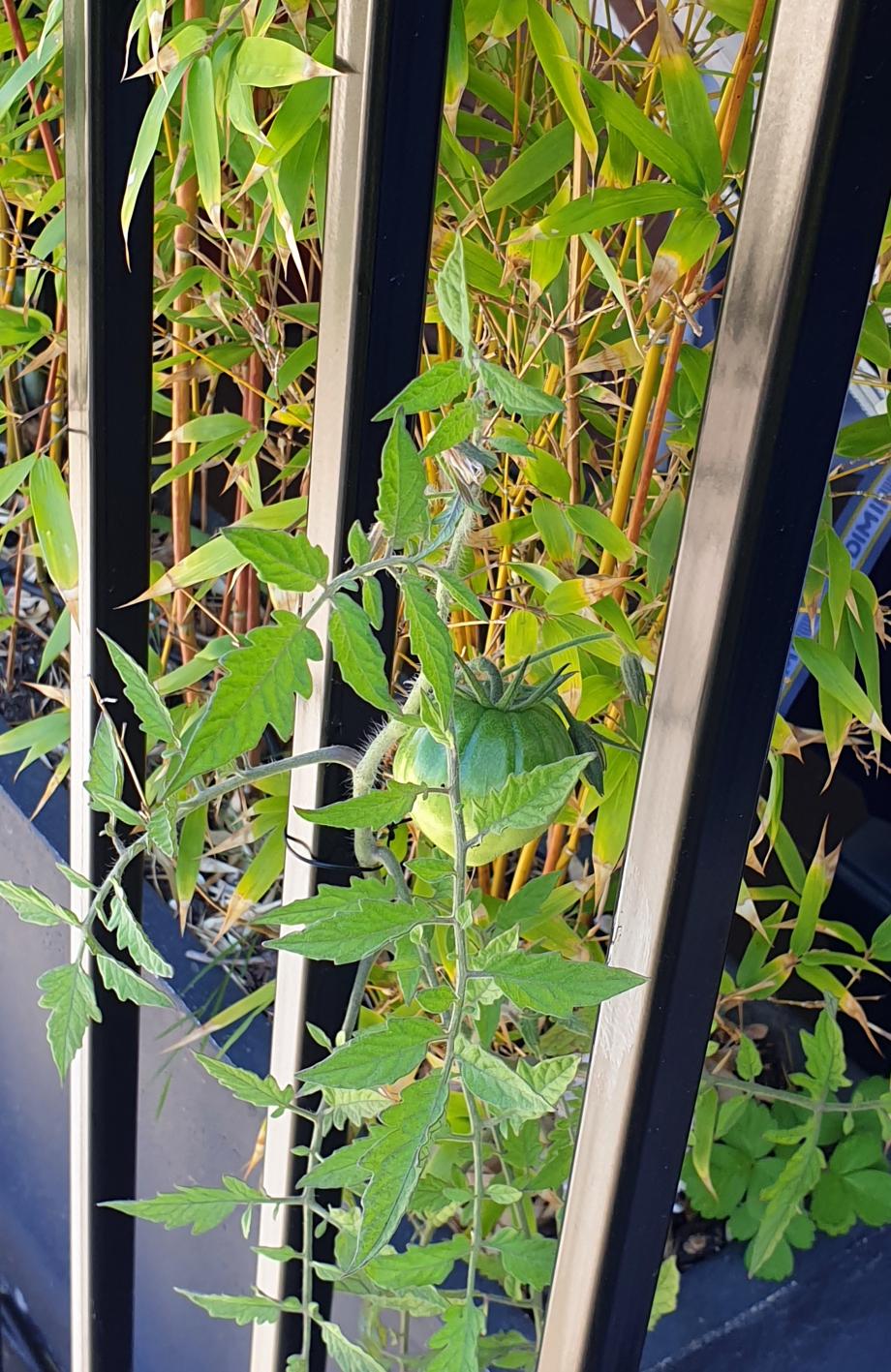 Plant tomate dans bambous 7 juil 20.jpg
