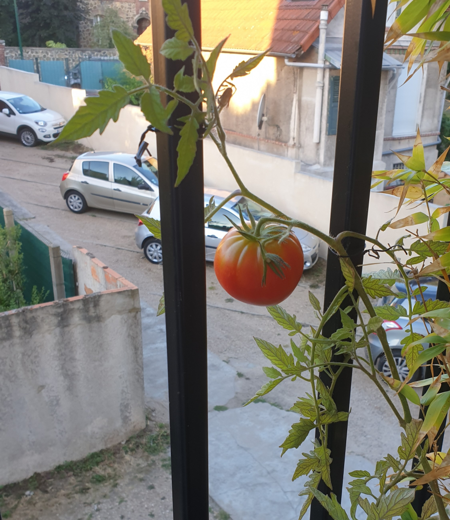 Zoom tomate balcon 5 août 20.jpg