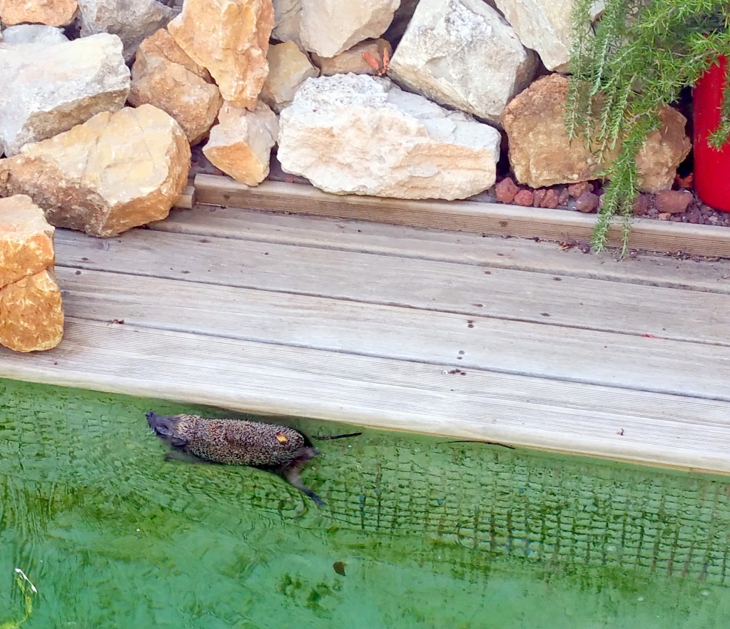 Quand un h risson se retrouve dans le bassin de nage de - Comment nourrir un herisson dans son jardin ...